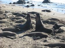 Elephant Seals - San Simeon